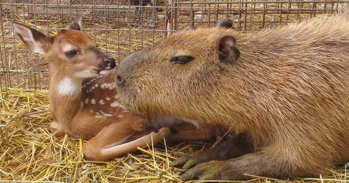 capybaras are the meanest animals ever here are 10 reasons why